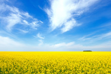 Yellow Rapeseed Flowers On Field With Blue Sky And Clouds. Russia. Beautiful Summer Landscape.