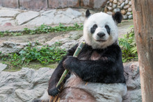 A Female Giant Panda Bear Enjo...