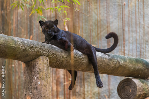 In de dag Panter A black panther is the melanistic color variant of any big cat species. Black panthers in Asia and Africa are leopards and those in the Americas are black jaguars.