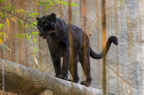 Tuinposter Panter A black panther is the melanistic color variant of any big cat species. Black panthers in Asia and Africa are leopards and those in the Americas are black jaguars.