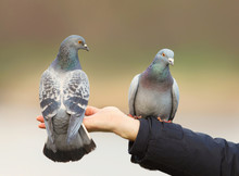 Close Up Of Two Feral Pigeons ...