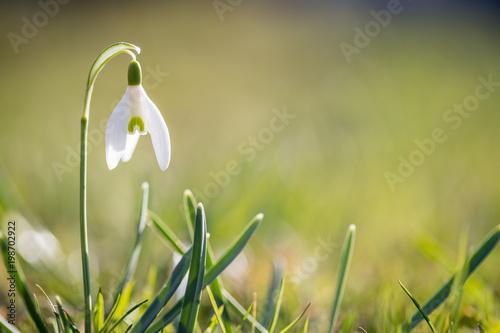 Plakat Przebiśniegi na wiosnę, kopia przestrzeń
