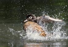 Laysan Duck Splashing In The Water