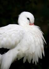 Close Up Of A White Stork Agai...