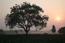 Morning Ride Through Corn Field