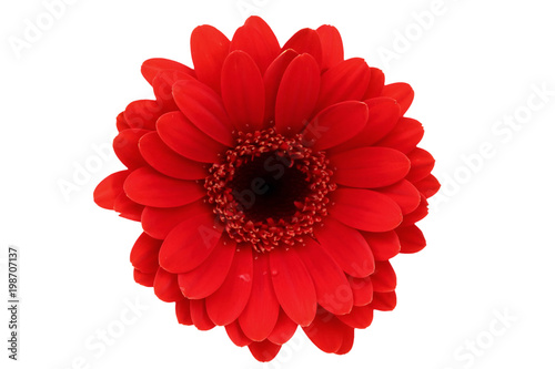 Deurstickers Gerbera Gerbera is a flower characterized by many corals and most often used by florists in bouquets as a cut flower because it is distinctive and large.