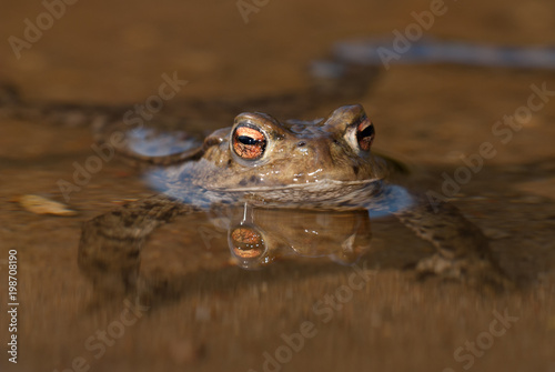 Common toad (Bufo bufo) Canvas Print
