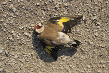A Dead Goldfinch. Road Wars Are The Death Of A Bird. Death By Car. Bird Killed On The Road.