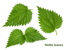 Nettle Leaf Isolated On White Without Shadow. Set