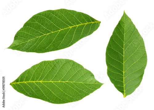 Valokuvatapetti walnut leaves isolated on white background