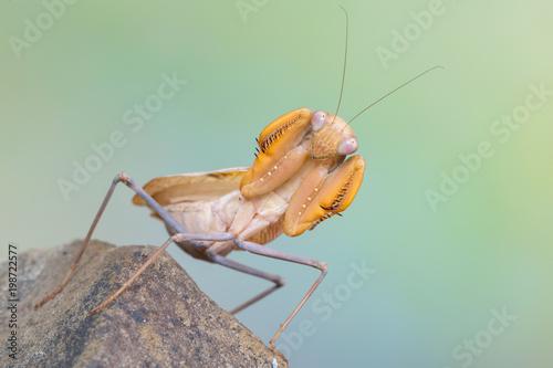 Photo praying mantis - Sphodromantis sp.