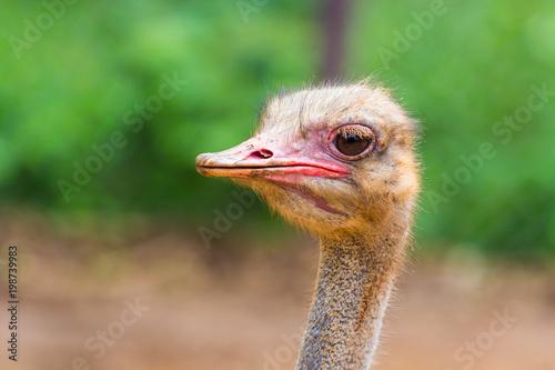 Keuken foto achterwand Struisvogel Face of Ostrich closeup