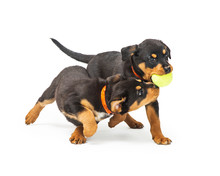 Two Playful Rottweiler Puppies With Ball