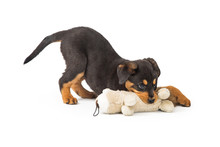 Rottweiler Puppy Playing With Stuffed Animal