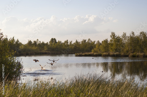 Fotografia, Obraz Ducks flying away at lake, National Park de groote Peel in the Netherlands
