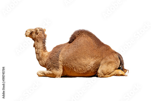 Fotobehang Kameel Profile Camel Isolated on White