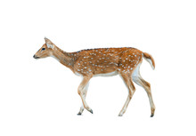 Spotted Deer Female Isolated
