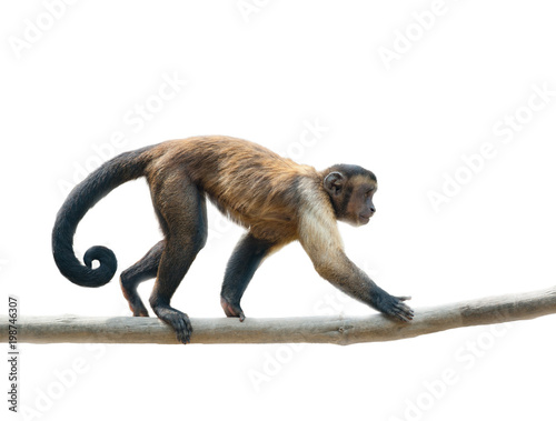 Vászonkép Black-capped capuchin isolated