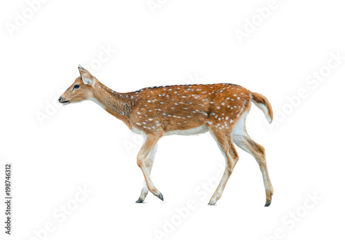 Papiers peints Cerf Spotted deer female isolated