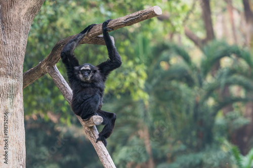 Foto op Aluminium Aap A male Pileated Gibbon has a purely black fur caused by sexual dimorphism in fur coloration.