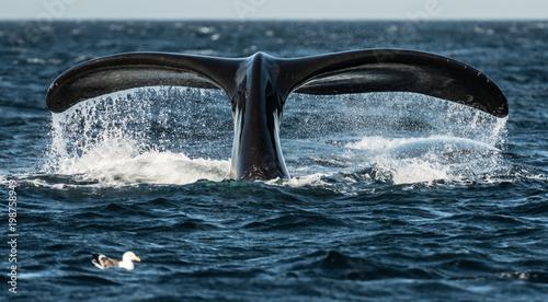 Fotografie, Obraz  Whale tail in Patagonia
