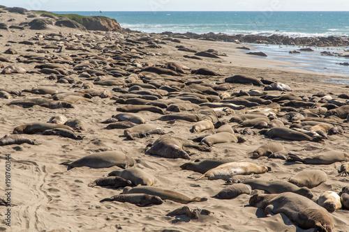 Sea Lions Sunbathing on the Beach at Piedras Blancas, Central Coast, California Poster
