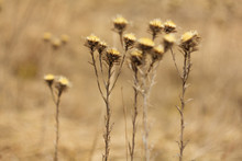 An Old Dry Flower, Dried Thist...