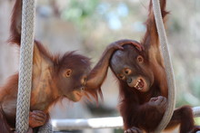 Two Young Baby Orangutan Playing Around With Eachother  / Baby Animals