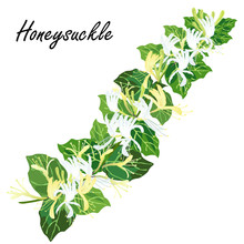 Honeysuckle (Lonicera Japonica, Woodbine). Hand Drawn Realistic Vector Illustration Of Honeysuckle Bine With Flowers Isolated On White Background.