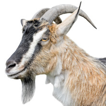 Goat Portrait Close Up. Beautiful, Cute, Young Brown Goat Isolated On White Background. Farm Animals. Funny Goat Head With Long Horns Isolated On White