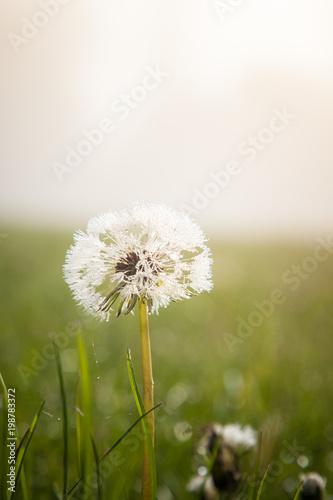 Dandelions on a misty meadow. Poster