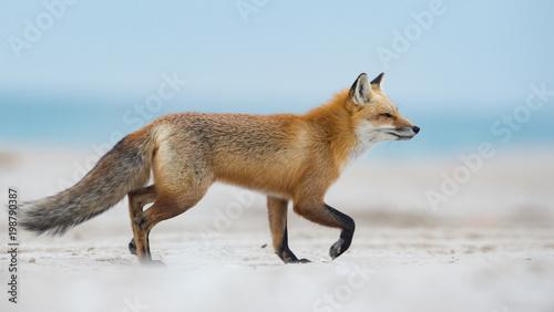 Photo  Red Fox