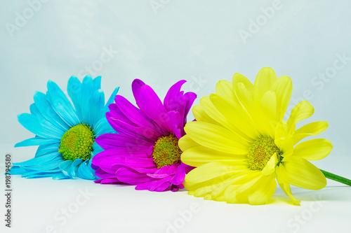 Fototapeta Light blue, purple and yellow daisy flowers on white background obraz na płótnie