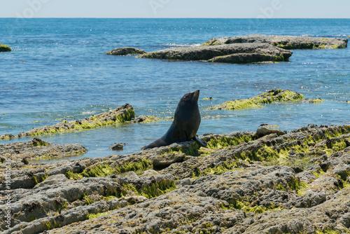 Fototapeta premium Nowozelandzkie foki na plaży Kaikoura, morskie zwierzę