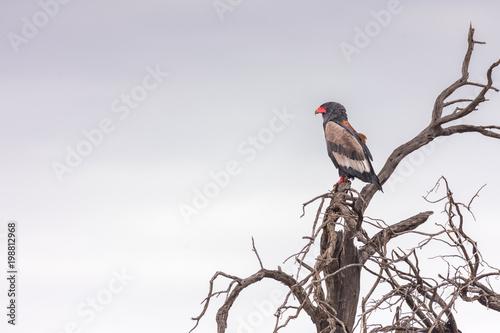Fotografía ein Gaukler, Schlangenadler, Terathopius ecaudatus, sitzt auf einem Baum, Kalaha