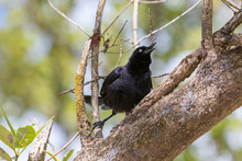 Greater Antillean Grackle (Qui...
