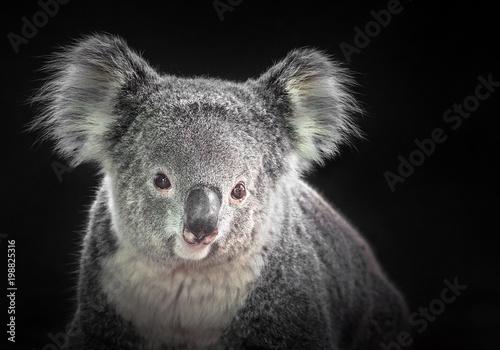 Garden Poster Koala The face of a koala on a black background.