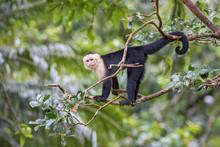White-faced Capuchin - Cebus C...