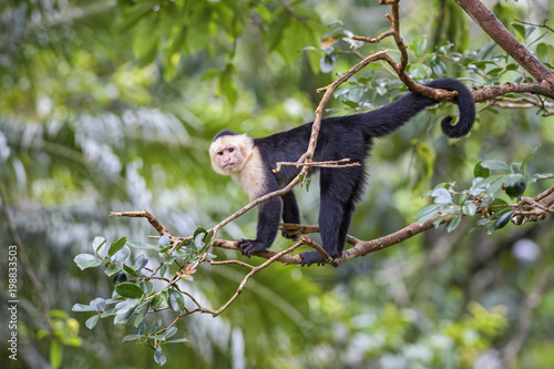 White-faced Capuchin - Cebus capucinus, beautiful bronw white faces primate from Costa Rica forest Fototapeta