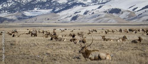 Fotografie, Obraz bull elk and elk herd in national elk refuge in yellow grassland and foothills