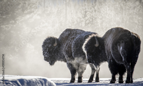 frosty bison steam breath yellowstone Canvas Print