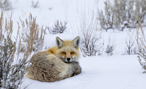 Valokuva red fox curled in snow staring