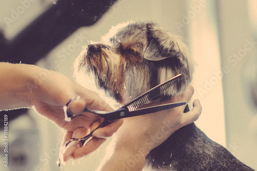Fotomural Female groomer haircut yorkshire terrier on the table for grooming in the beauty salon for dogs