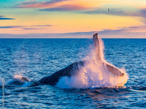 Humpback Whale breaching in deep blue sea at Iceland