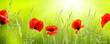 leuchtende mohnblumen in der sonne