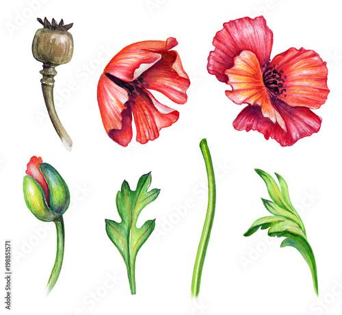 Botanical watercolor illustration colorful poppies collection botanical watercolor illustration colorful poppies collection bouquet arrangement design elements rustic poppy mightylinksfo