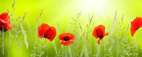 leuchtende-mohnblumen-in-der-sonne