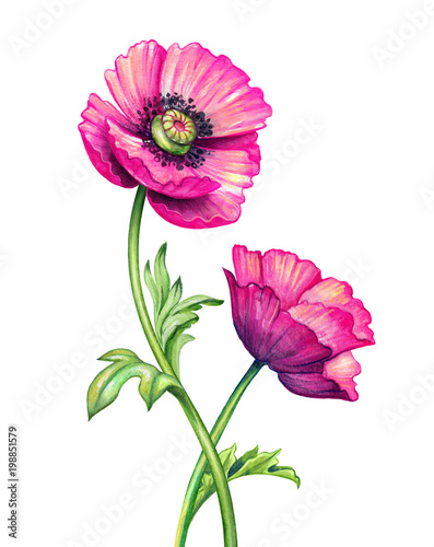 watercolor botanical illustration, poppy flowers design elements, garden, pink poppies bouquet, natural clip art, isolated on white background