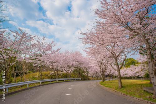 ・桜・桜並木・道路
