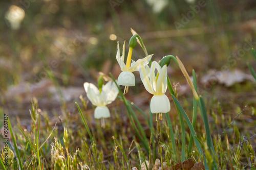 Flores Silvestres Narcissus con Forma acampanada
